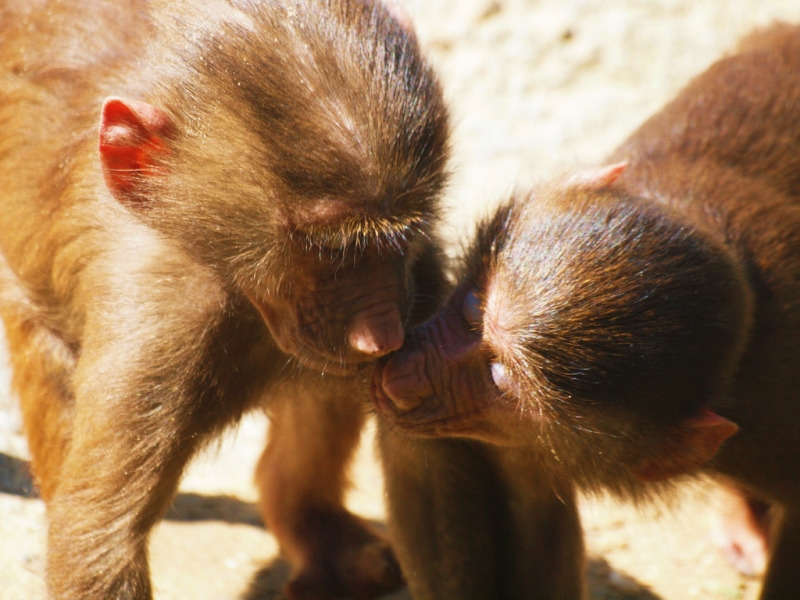Baboons who are friends forever