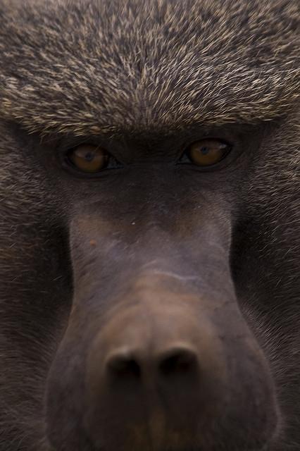 Baboon-Face