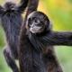 Black spider monkey in his Denmark zoo