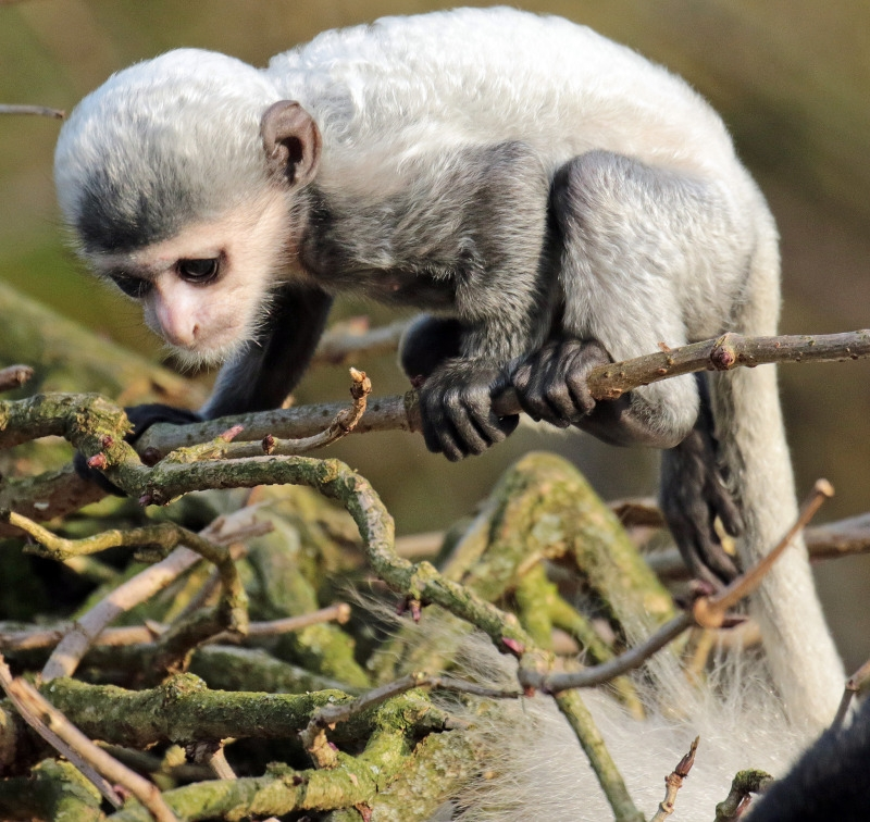A very fragile Colobus monkey