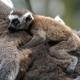 Baby-ring-tailed-lemur