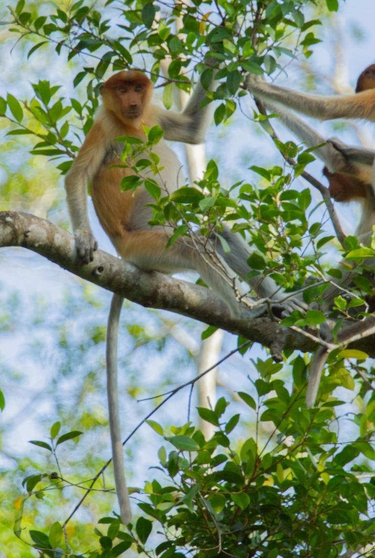 Two sweet proboscis monkeys playing high in a tree