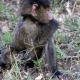 Baby Olive Baboon looking cute