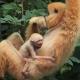 Goudwanggibbon-Artis-monkey
