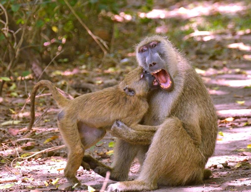 Olive Baboons at Ukunda