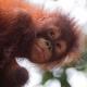 Orangutan-9