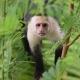 Capuchin-Monkey-at-Manuel-Antonio