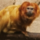 Golden-Lion-Tamarin-2