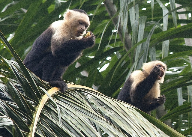 Capuchin-Monkeys-1