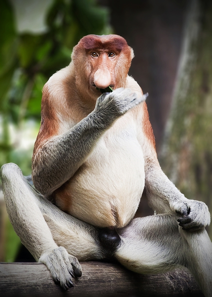 Mr. Big Nose the Proboscis Monkey