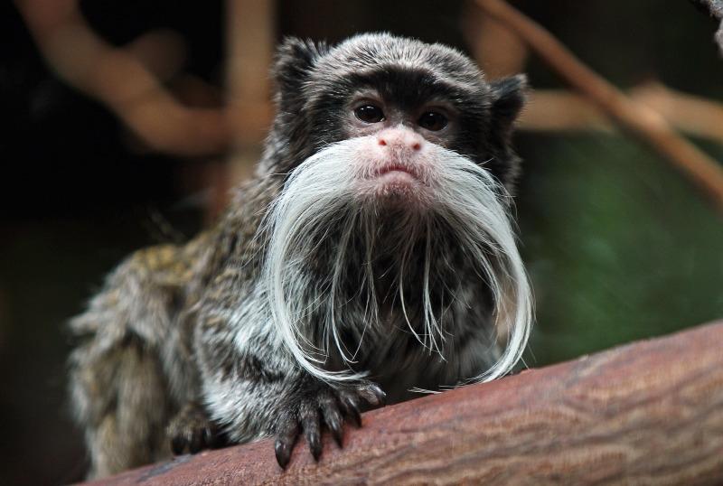 Bearded Emporer Marmoset monkey