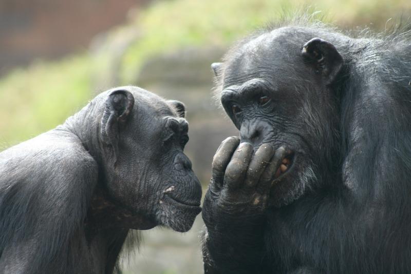 Chimpanzees at taronga zoo having a joke