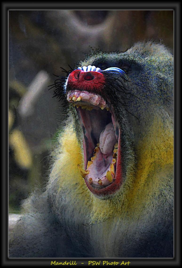 Mandrill having a big wide yawn
