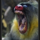 Mandrill having a big wide yawn