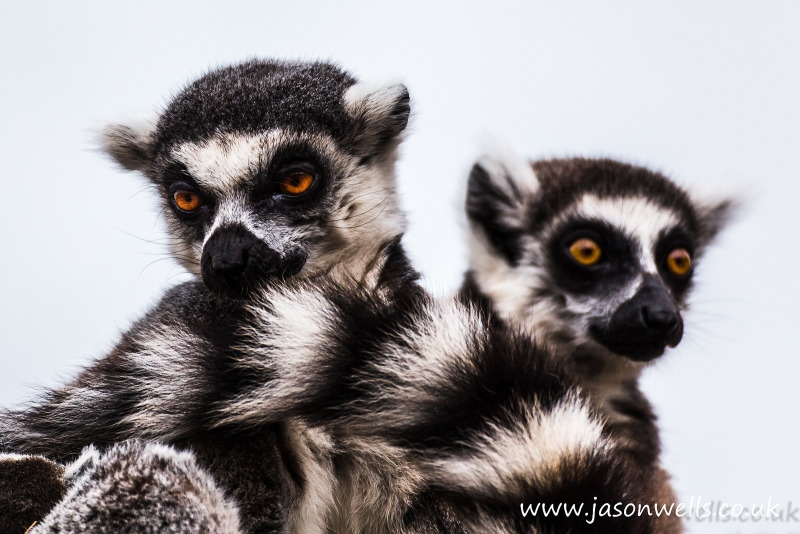 Ring-tailed lemur pair in Dalton in Furness