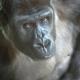 Gorilla sneaking a peek