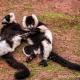 Lemurs at south lake zoo