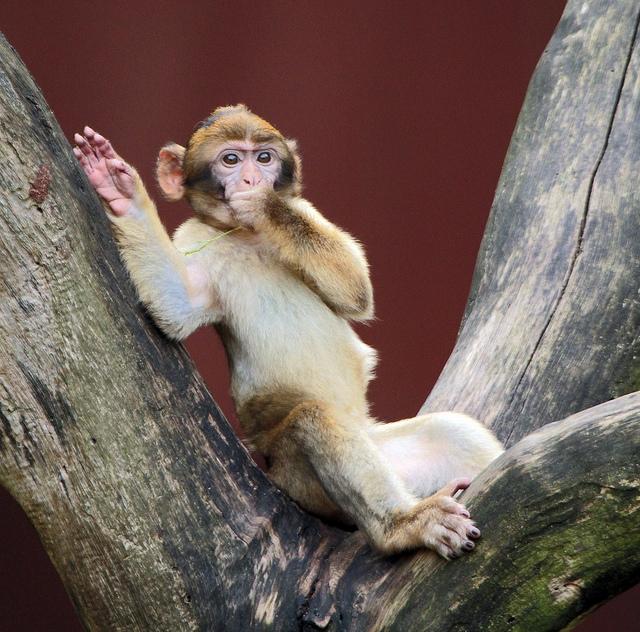 Berberaap-apenheu-relaxing