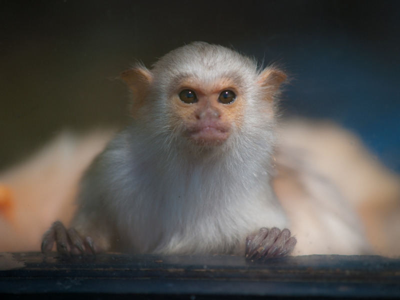 Silvery Marmoset at Whipsnade Zoo
