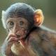 Berberaap-apenheul-monkey
