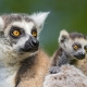 A cute scene of the mother lemur with her baby on her!