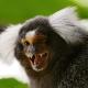 South-American-monkey