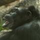 Gorilla-Posing