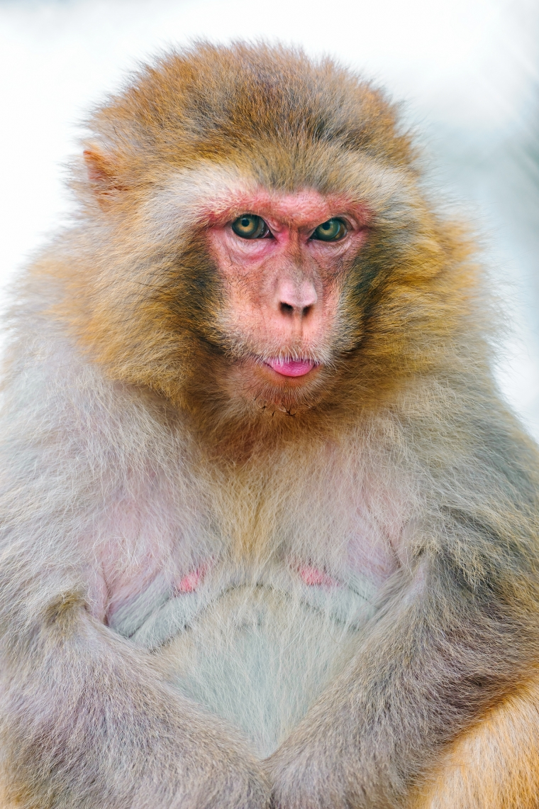 Cute-but-fat-japanese-macaque