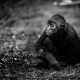 Columbian Spider Monkey sitting on the floor