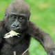 Gorilla having a leaf for dinner