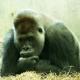 The pouting Gorilla