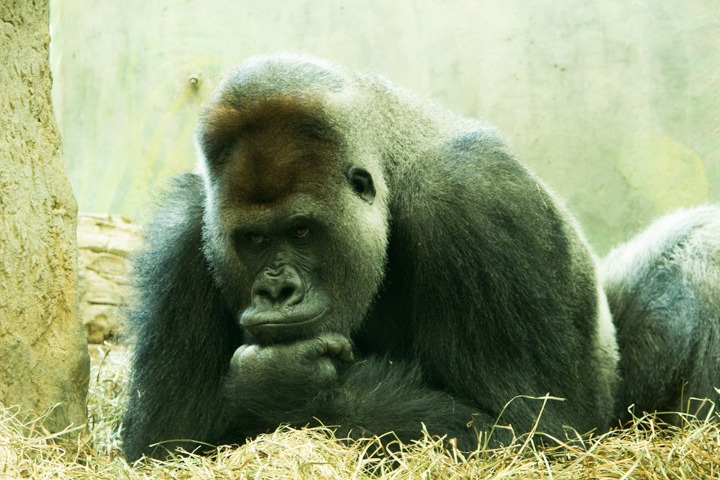The pouting Gorilla