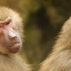 Baboons finished arguing