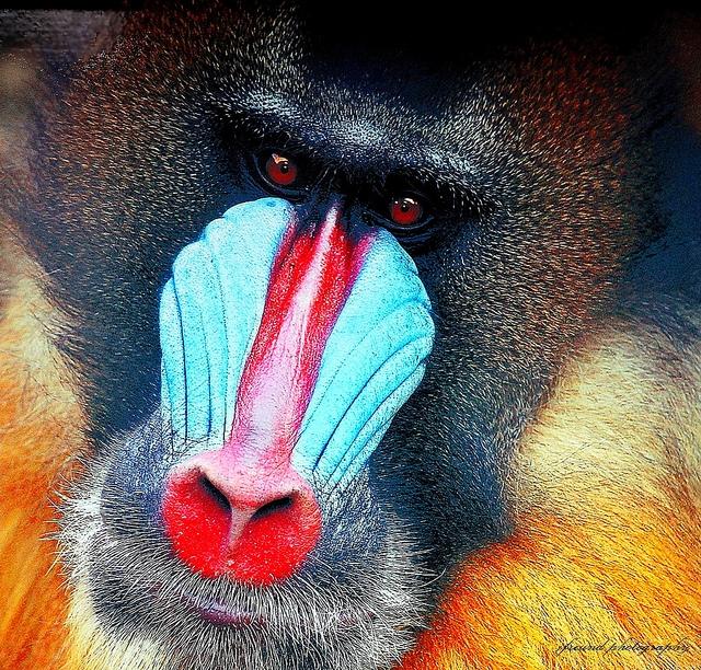 Baboon-portrait