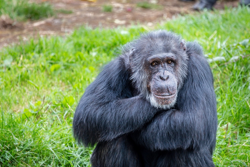 Older Chimpanzee folds his arms and relaxes