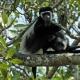 Zwartwitte-colobus-Kibale-NP-Uganda