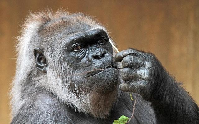 Westelijke-laagland-gorilla-Krefeld