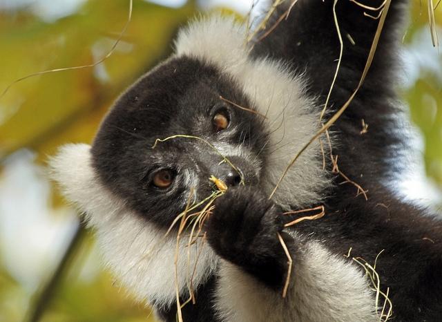 Vari-zwart-witte-vari-apenheul