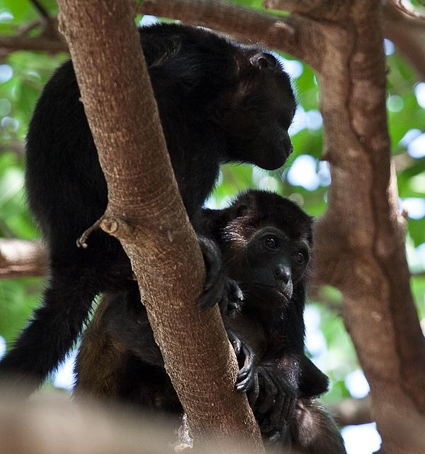 Mantled-Howler-Monkey-11