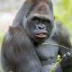 Big-gorilla-eating