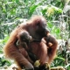 Mother and child Orangutan having lunch