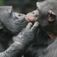An older Chimpanzee couple kissing