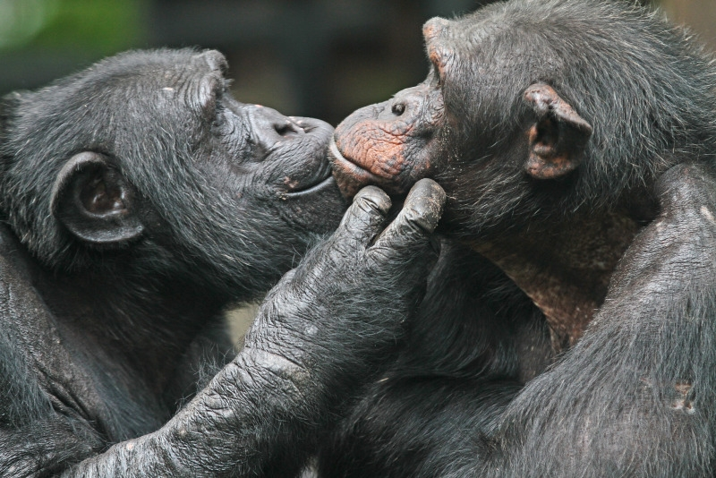An older Chimpanzee couple kissing