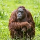 Orangutan sitting in the grass