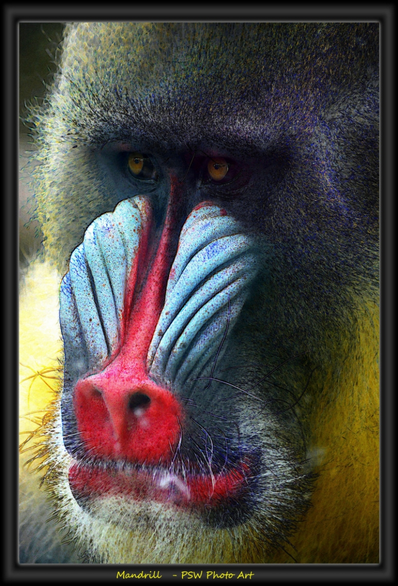 What a colourful Mandrill at Orgeon zoo