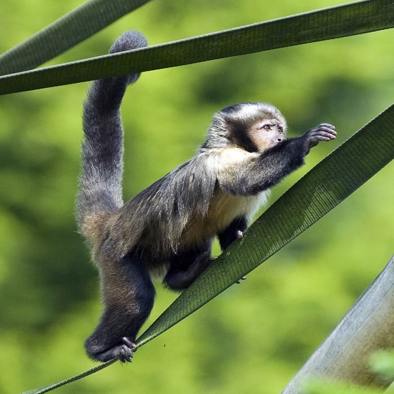 Capuchin monkey in a Chester tree