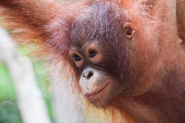 Orangutan-10