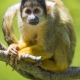 Squirrel-monkey-sitting-on-a-branch