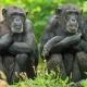Chimpansee-burgerszoo