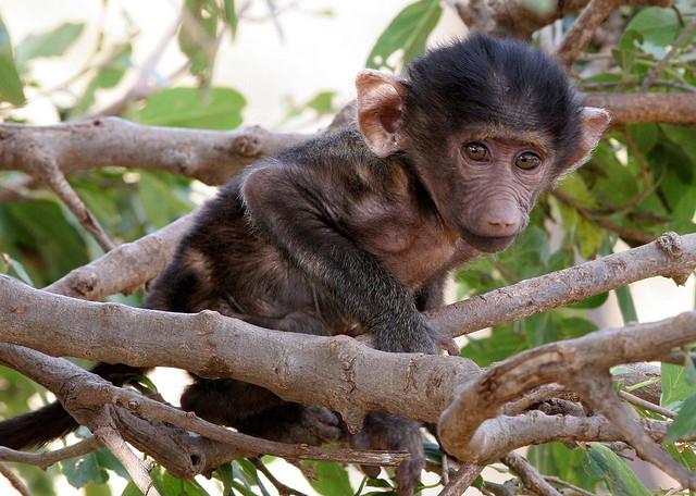 Baby-baboon-sweet